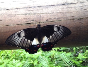 Papilio aegeus Orchard or Citrus Swallowtail Butterfly